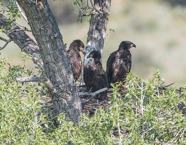 Three Eaglets To Fledge