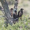 Three Eaglets To Fledge