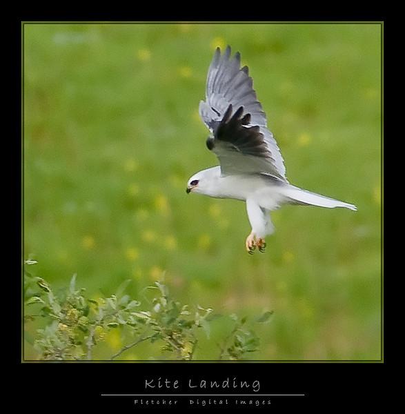 White-tailed Kite landing (Nikon D300)