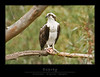 Osprey2751-F
