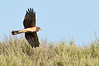 Norther Harrier