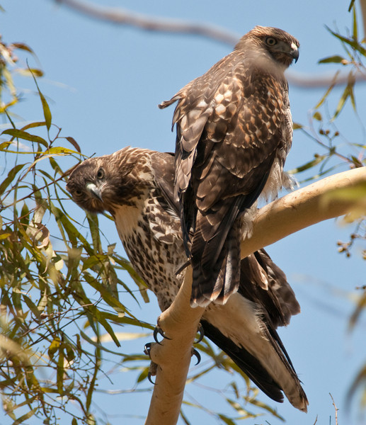 Young red-tailed hawk siblings