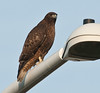 Dark-morphed Red-tailed Hawk