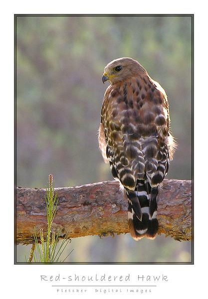 Red-shouldered Hawk (Nikon E8800)