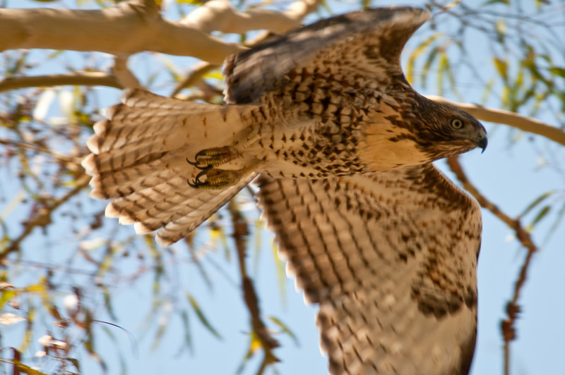 Young red-tailed hawk takes flight