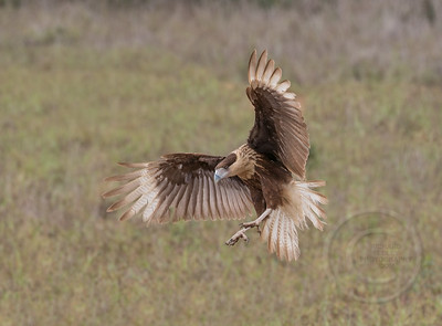 Caracara In The Landing Zone