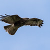 Common Buzzard - Musvåge