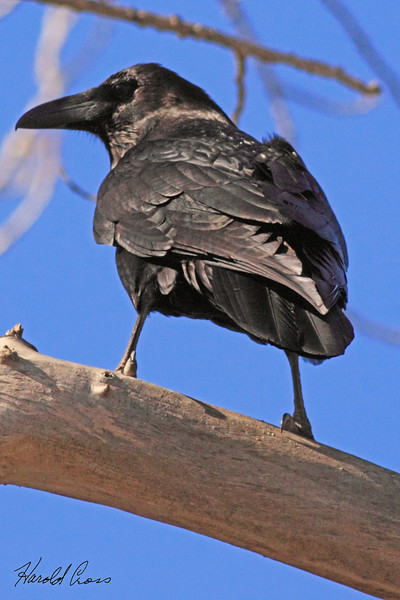 An American Crow taken Feb 28,2010 in Grand Junction, CO.