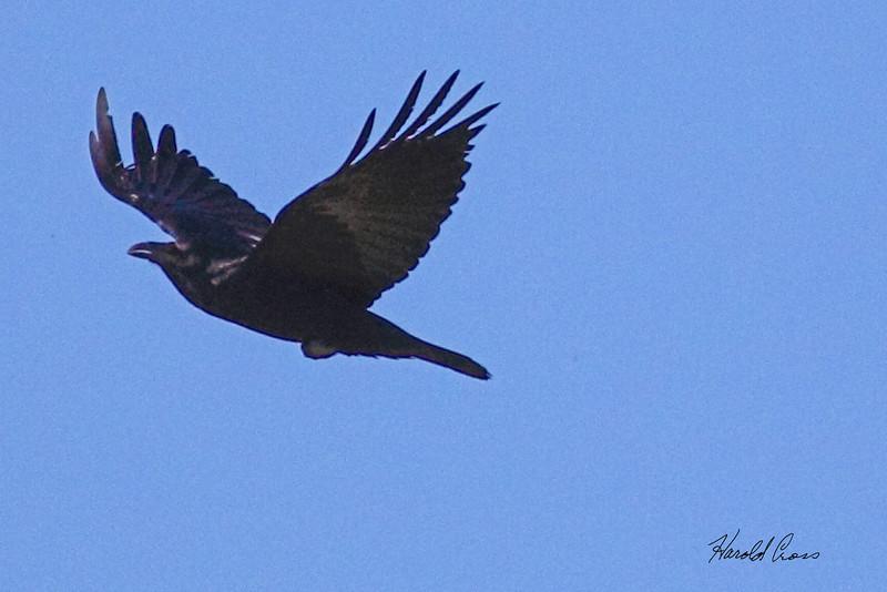 An American Crow taken Mar 11, 2010 in Grand Junction, CO.