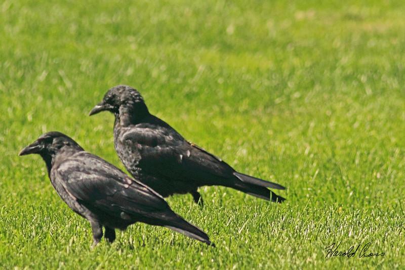 American Crows  taken Sep 23, 2010 near Bozeman, MT.