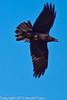 A Chihuahuan Raven taken Feb. 25, 2012 in Tucson, AZ.