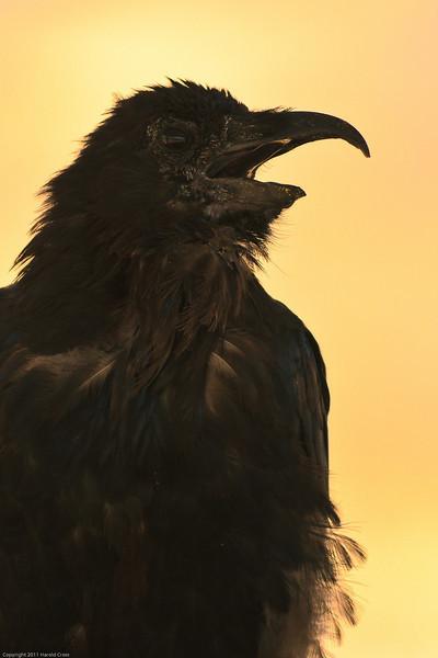 A Chihauhaun Raven taken July 21, 2011 near Las Cruces, NM.