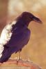 A Chihuahuan Raven taken Feb. 9, 2012 in Tucson, AZ.