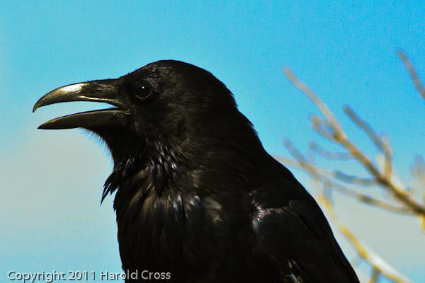 A Common Raven taken Aug. 26, 2011 at  Arches National Park near Moab, Utah.
