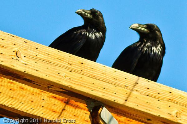 Common Ravens taken Sep. 7, 2011 near Fruita, CO.