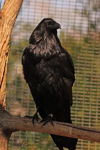 A Common Raven taken Feb 13, 2010 in Phoenix, AX.