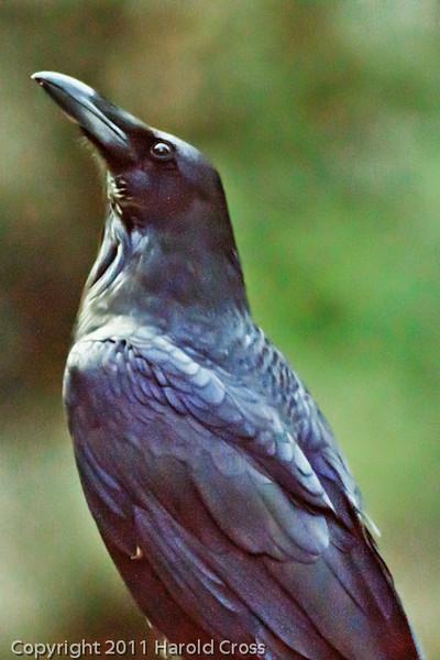 A Common Raven taken Sep. 28, 2011 at Yosemite National Park.