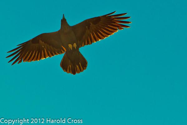 A Common Raven  taken Apr. 21, 2012 on the Colorado National Monument near Fruita, CO.