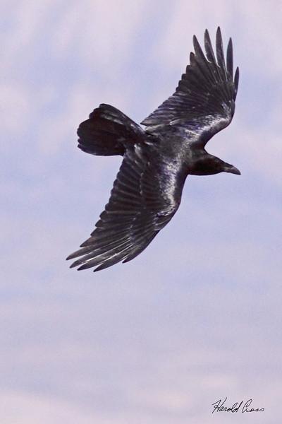 A Common Raven  taken Apr 10, 2010 near Fruita, CO.