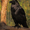 A Common Raven taken Feb 13, 2010 in Phoenix, AX.