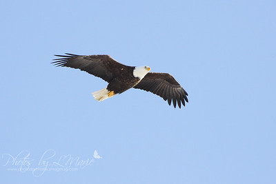 Eagles in Flight