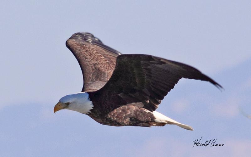 Bald eagle taken in Grand Junction, CO on 12 Jan 2010.