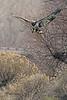 A Bald Eagle taken Mar. 9, 2011 near Fruita, CO.
