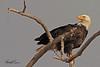 A Bald Eagle taken April 12, 2011 near Fruita, CO.