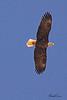 A Bald Eagle taken Mar 11, 2010 in Grand Junction, CO.