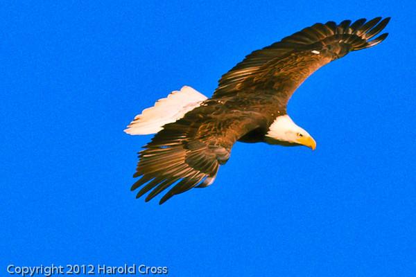 A Bald Eagle taken Jan. 12, 2012 in  Fruita, CO.
