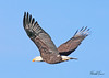 Bald eagle taken in Grand Junction, CO in Dec 2009.
