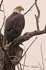 A Bald Eagle taken Sep 6, 2010 near Fruita, CO.
