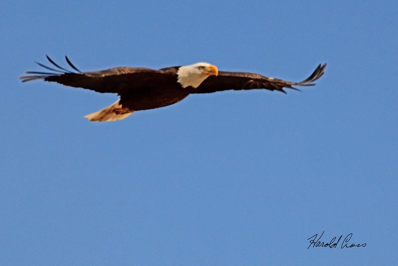 A Bald Eagle taken April 27, 2011 near Fruita, CO.