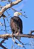 Bald eagle taken in Fruita, CO on 8 Jan 2010.
