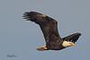 A Bald Eagle taken Oct. 29, 2010 near Fruita, CO.
