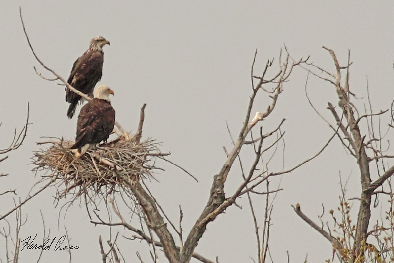 Bald Eagles taken May 3, 2011 near Fruita, CO.