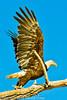 A Bald Eagle taken May 24, 2012 near Fruita, CO.