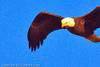 A Bald Eagle taken Jan. 12, 2012 in  Fruita, CO.