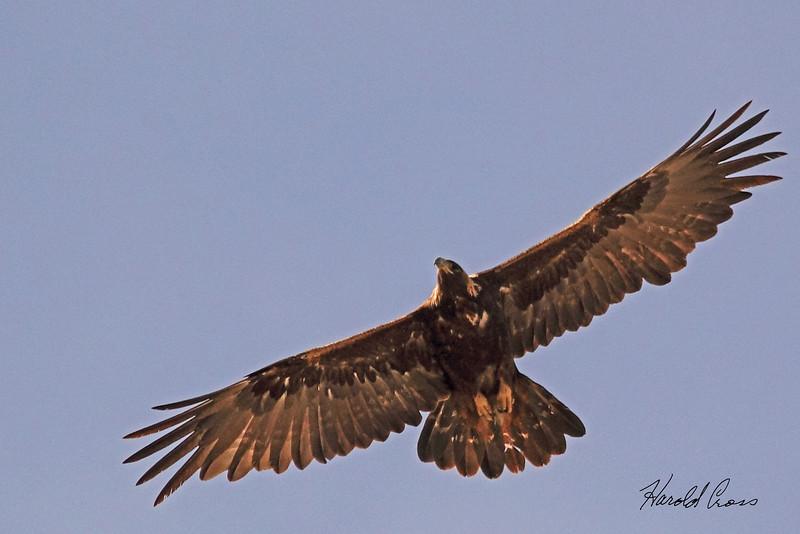 A Golden Eagle taken April 28, 2011 near Fruita, CO.