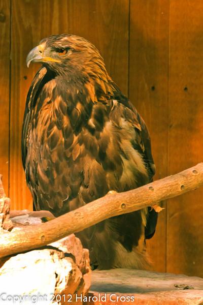 A Golden Eagle taken Jun. 27, 2012 in Salt Lake City, UT.