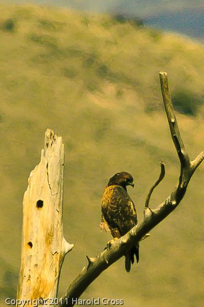 A Golden Eagle taken Oct. 23, 2011 near Eckert, CO.