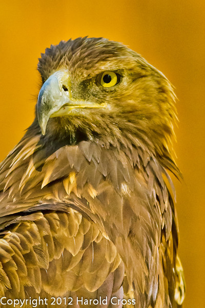 A Golden Eagle taken Jun. 27, 2012 in Salt Lake City, UT.