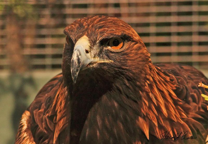A Golden Eagle taken Feb 13, 2010 in Phoenix, AZ.