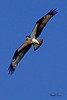 An Osprey taken Oct 4, 2010 near Fort Sumner, NM.
