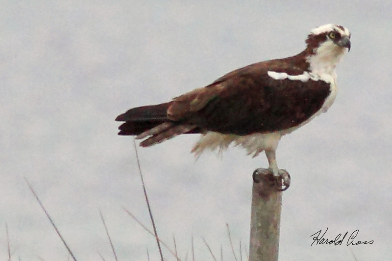 An Osprey taken Apr 25, 2010 near Fortuna, CA.