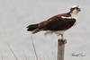 An Osprey taken Apr 25, 2010 near Fortuna, CA.