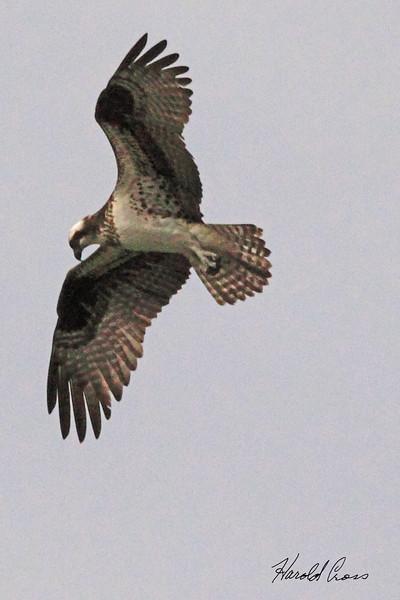 An Osprey taken May 26, 2010 near Bozeman, MT.
