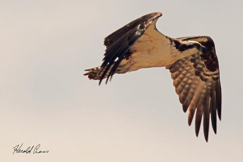 An Osprey taken April 13, 2011 near Fruita, CO.