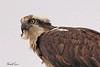 An Osprey taken May 29, 2010 near West Yellowstone, MT.