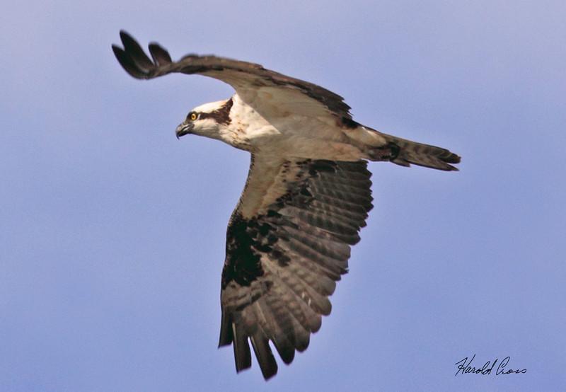 An Osprey taken Jan 27, 2010 in Phoenix, AZ.